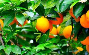 inta-naranjas-1